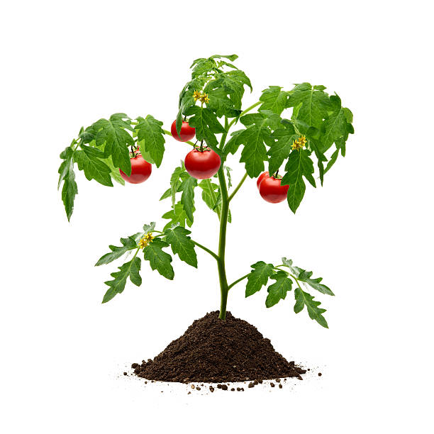 Tomatoes plant with soil on white background